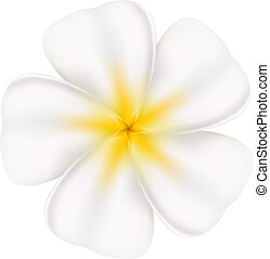 Beautiful frangipani