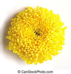 Chrysanthemum flower - One rich yellow chrysanthemum flower...