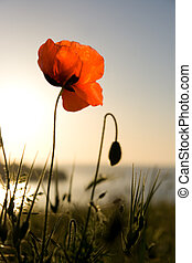 Red poppy in the light of the sunset