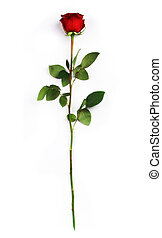 Red rose - Single dark red rose on a white background