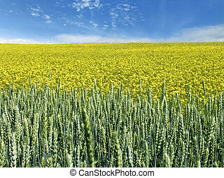 rape and wheat field - The beautiful rape and wheat field...