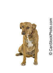 crossbreed dog - Little brown crossbreed dog in the studio