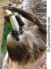 Sloth eating close up - Sloth enyoing its meal upside down
