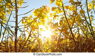 Rape seed flowering on a sunny day, backlit