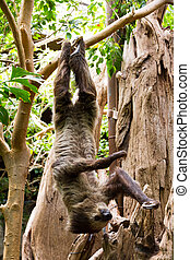 Sloth hanging updide down - Sloth hanging upside down in a...