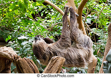 Sloth in a tree with food