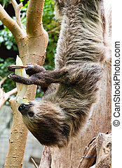 Sloth dinner - Sloth enjoying his vegetables in a tree