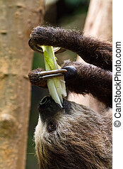 Close up sloth eating in a tree