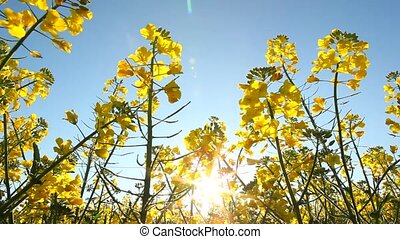 Rape seed flowering on a sunny day pan left, backlit