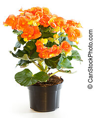 Blossoming plant of begonia in flowerpot isolated on white.