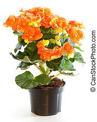 Florecer, planta, begonia, maceta, aislado, blanco