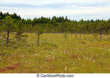Bog with Cottongrass in Finland - Green bog with flowering...