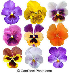 Set of nine pansies on white background