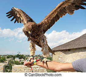 Hunting eagle on arm before flight with wings spread