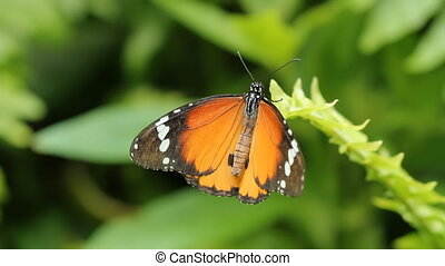 Queen butterfly. Wide shot. - A queen butterfly on a green...