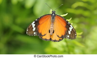 Queen butterfly. - A queen butterfly on a green leaf with...
