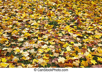 Fall maple leaves - Colorful fall maple leaves