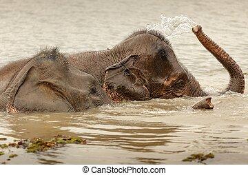 wild elephant bathing