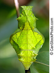 butterfly pupa face - Troides helena cerberus butterfly pupa...