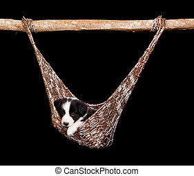 Hammock border collie