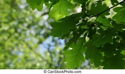 oak leaves - In the shadow under the branches of trees, oak...