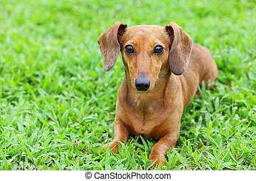 dachshund dog in park