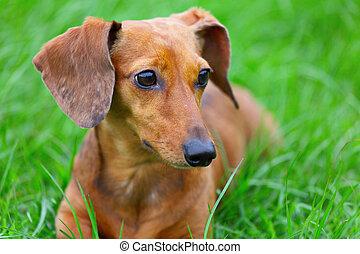 dachshund dog in park