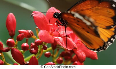 Queen butterfly on red flowers. - A queen butterfly...