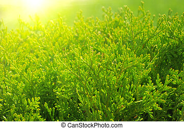 Cypress tree - Close up green cypress tree in the sunlight