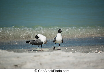 Laughing Gulls on a Florida Beach - A pair of Laughing Gulls...