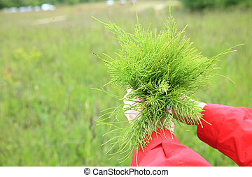 Large bouquet from the field medicinal horsetail