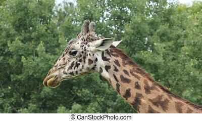 Chewing giraffe. - A giraffe chews on some food. Toronto...
