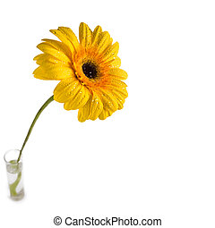 Gerbera flower in a glass of water on a white background
