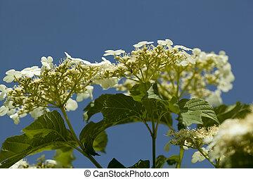 viburnum -  flowers viburnum (Viburnum opulus) on blue sky