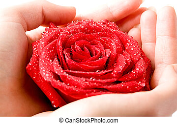 Rose in hands - Closeup of wet scarlet rosebud in...