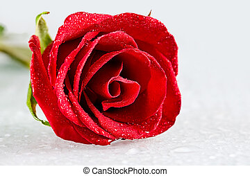 Fresh rose - Close-up of open rosebud with dew drops on its...