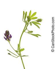 flower lucerne - single flower lucerne (Medicago sativa) on...