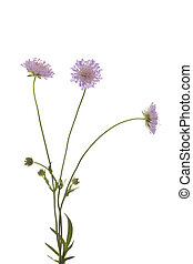 Knautia arvensis - purple flower (Knautia arvensis) on white...