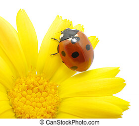 ladybug on an orange flower