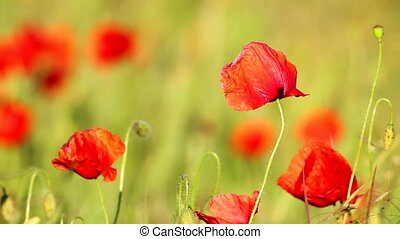 Poppy flowers - Poppy flowers in sunset light