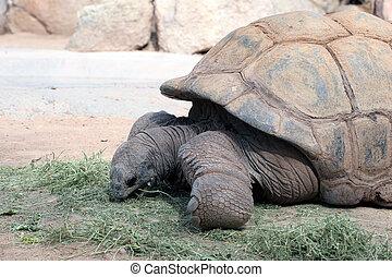 Tortoises Eating Grass