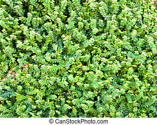 Green wall of Ivy leaves, nature background, texture