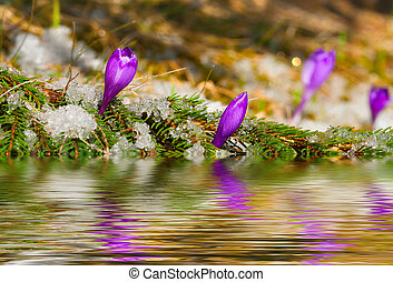 blossom crocus in spring