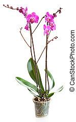 Florecer, planta, orquídea, maceta, aislado, blanco