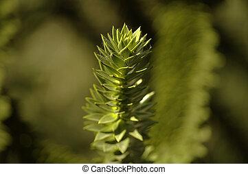 Un, rama, árbol hoja perenne, Araucaria, árbol
