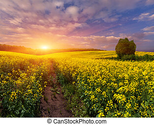 Summer Landscape with a field of yellow flowers Sunrise