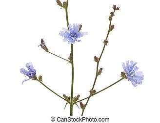 chicory - flower chicory (Cichorium intybus) on white...