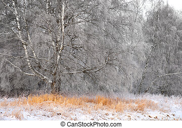Birch tree in winter - big birch tree with rime frost in...