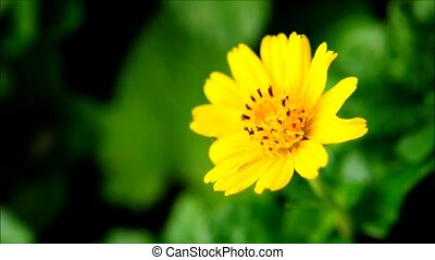 Closeup of single yellow flower moving in the wind standing...
