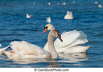 Beautiful white swans floating on the water